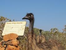 Emus, australia Royalty Free Stock Photos