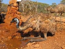 Emus, australia Royalty Free Stock Photo