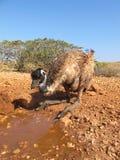 Emus, australia Stock Photos