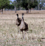 Emus australianos no selvagem. Foto de Stock Royalty Free