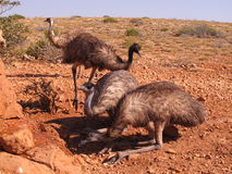 Emus, Australien Stockfotos