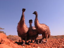 Emus, Australien Stockfotografie