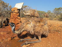 Emus, Australien Stockbild