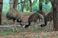 Emus bumping heads Stock Photo