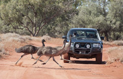 Emus crossing road Royalty Free Stock Images