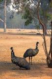 Emus, die im Schatten stillstehen Lizenzfreies Stockbild