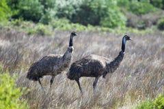 Emus (Dromaius novaehollandiae) Royalty Free Stock Photography