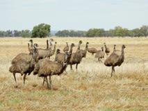 Emus Royalty Free Stock Photos