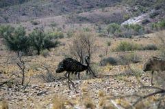 Emus gesehen auf dem szenischen Antrieb Moralana, die Strecken der Flinders, SA, Australien stockbild