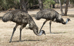 Emus Stock Image