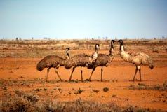 emus outback Royaltyfri Bild