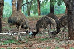 Emus que colidem as cabeças Foto de Stock