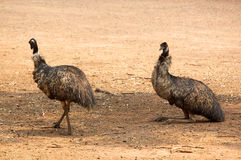 Emus resting in shade Royalty Free Stock Photos