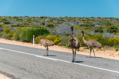 Emus on the road Royalty Free Stock Photo