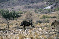 Emus seen on the Moralana Scenic Drive, Flinders` Ranges, SA, Australia stock image
