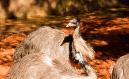 Emus under sunlight on red and dried ground Stock Photography