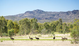 Emus Royalty Free Stock Image