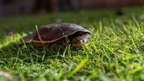 Emydura macquarii australian murray river turtle keeping an eye out. In the grass stock image