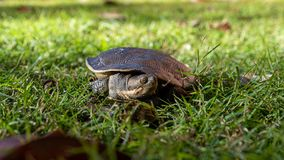 Emydura macquarii australian murray river turtle looking for water in the grass. In the sun stock photos