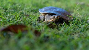 Emydura macquarii australian murray river turtle trying to find his way home. In the grass stock image