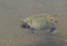 emys ευρωπαϊκή χελώνα λιμνών orbicularis στοκ φωτογραφίες με δικαίωμα ελεύθερης χρήσης