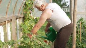 En äldre man bevattnar växter i ett växthus Höga tomater och peppar ska mogna snart Begreppet av sunt arkivfilmer