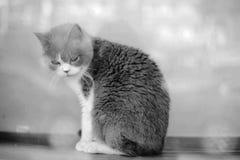En älskvärd grå katt i ett glass fönster Royaltyfri Fotografi