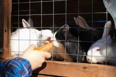En älskvärd kanin som äter mat vid handen royaltyfria bilder
