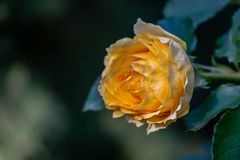 En älskvärd knopp av en mjuk gul ros med många kronblad Blomma på rätten mot bakgrunden av en naturlig gre för suddig smaragd royaltyfria bilder