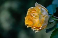 En älskvärd knopp av en mjuk gul ros med många kronblad Blomma på rätten mot bakgrunden av en suddig smaragd arkivfoto