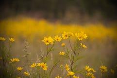 En äng av ljust färgade gulingblommor Arkivfoton