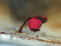 En åldrig röd fruktkropp av en Physarum för slamform roseum på blå bakgrund Royaltyfria Bilder