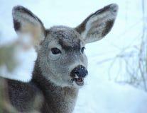 En årsgammal djurunge med en vinters lag som försöker att fortleva vintern Arkivbilder