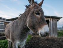 En åsna framme av en ladugård i Schweiz Arkivbilder