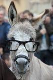 En åsna med exponeringsglas Arkivbild