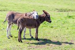En åsna och hennes föl royaltyfria foton