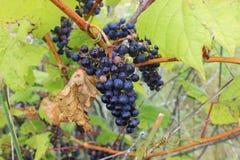 En åtsittande grupp av lösa druvor hänger från en vinranka Arkivfoto