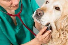 En écoutant un d'or vétérinaire de chien Images stock
