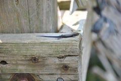 En ödla på en farstubro Arkivfoton