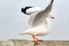 en öppen bevingad seagull på bron royaltyfria foton