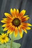 En öppen solros innehåller gula och bruna kronblad som cirklar en diskett av frö arkivfoton