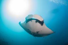 En över huvudet jätte- oceanisk simning för mantastråle Arkivbild