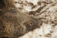 En övre detalj för löst grisköttmunslut arkivbild