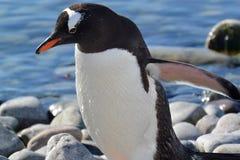 En övre sikt för slut av en pingvin vid vattnet i Antarktis royaltyfri fotografi