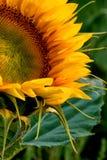 En övre sikt för slut av en solros Fotografering för Bildbyråer