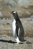 EN χερσόνησος Antartica Λα της Παπούας inos Pingà ¼ Στοκ Εικόνες