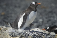 EN χερσόνησος Antartica Λα της Παπούας inos Pingà ¼ Στοκ φωτογραφία με δικαίωμα ελεύθερης χρήσης
