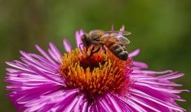 En abeja en la flor Imagen de archivo
