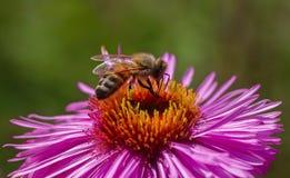En abeja en la flor Fotografía de archivo