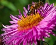 En abeja en una flor Foto de archivo libre de regalías